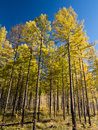 Deciduous pine forest in inner mongolia with blue sky Royalty Free Stock Image