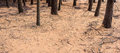 Deciduous pine tree forest detail background of fir needles Stock Photo