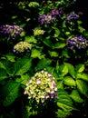 Hydrangea-Hydrangea macrophylla Royalty Free Stock Photo