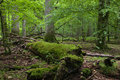 Deciduous stand of Bialowieza Forest in springtime Stock Photos