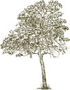 Deciduous tree vector drawing of a Royalty Free Stock Photos