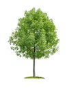 A deciduous tree on a white background isolated Stock Photo