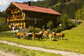 Decorated cows Oktoberfest Gerlos Austria Royalty Free Stock Images