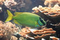 Decorated rabbitfish floating in water Royalty Free Stock Photo
