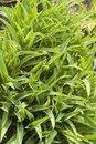 Decoration grass close up green ornamental foliage Royalty Free Stock Photos