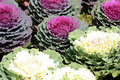 Decorative cabbage Royalty Free Stock Photo