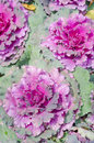 Decorative cabbage close up brassica oleracea var acephala Stock Image