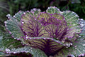 Decorative cabbage curly with rain drops on the leaves Royalty Free Stock Image