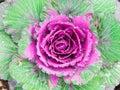 Decorative cabbage, ornamental cabbage plants.