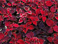 Decorative coleus leaves background from Stock Photography