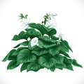 Decorative datura bush with large leaves vector drawing of and white flowers Stock Photos
