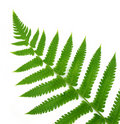 Decorative fern Royalty Free Stock Image
