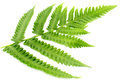 Decorative fern leaves over white background Royalty Free Stock Photos