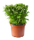 Decorative fern in a pot Royalty Free Stock Photo