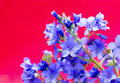Decorative flower polemonium caeruleum with blue flowers on a red background Royalty Free Stock Images