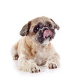 The decorative licking lips doggie amusing of breed of a shih tzu Royalty Free Stock Images