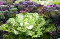 Decorative multi-coloured cabbage Stock Photos