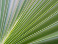 Decorative plant leaf with striations Royalty Free Stock Photo