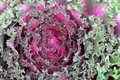 Decorative Purple Cabbage