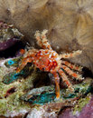 Decorator crab Stock Images