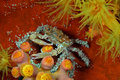 Decorator Crab Royalty Free Stock Image