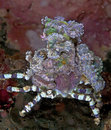 Decorator crab with coral crown macro photo of colorful colony on carapace Royalty Free Stock Photo
