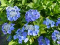 Deep blue flowering hortensia bush the flowers of a blooming plant in summer Stock Photo