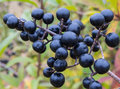 Deep blue glossy berries shrub wild privet ligustrum vulgare autumn Royalty Free Stock Photography