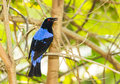 Deep color male asian fairy bluebird catch tree Stock Photos