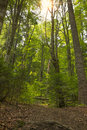 Deep forest sunlight in the Stock Photography