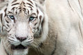Deep gaze tiger symbolizes power wisdom leadership and skillfulness Stock Photography
