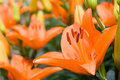 Deep orange asiatic lily Royalty Free Stock Photo