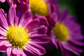 Deep pink chrysanthemum Royalty Free Stock Image