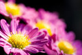 Deep pink chrysanthemum Stock Image
