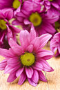 Deep Pink Chrysanthemum Flowers