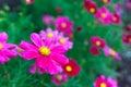 Deep Pink Cosmos Flowers In Ga...