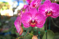 Deep Pink Orchids in Bangkok, Thailand Royalty Free Stock Photo