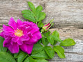 Deep pink rugosa rose flower with leaves and bud Royalty Free Stock Photo