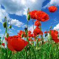 Deep in poppies feld Stock Image