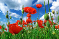 Deep in poppies feld field nature composition Royalty Free Stock Photo