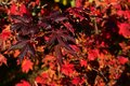 Deep purple and red leaves of Korean maple tree Acer Pseudiosieboldianum during autumn season, middle october Royalty Free Stock Photo