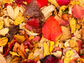 Deep red autumn leaf laying among yellow fallen leaves Stock Photography