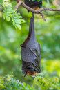 Deep sleep of lyle s flying fox pteropus lylei in nature thailand Royalty Free Stock Image