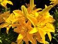 Deep yellow flowers