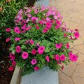 Deeppink calibrachoa beautiful flower is color of nature Royalty Free Stock Images