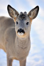 Deer Royalty Free Stock Photo