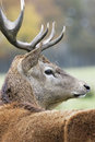 Deer in alert Royalty Free Stock Image