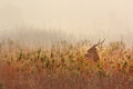 Deer alert inside grassland in the morning time Stock Photo