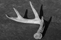 Deer antler with bold shadows, black and white Royalty Free Stock Photo