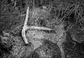 Deer antler lies in marshy area black and white Stock Photo